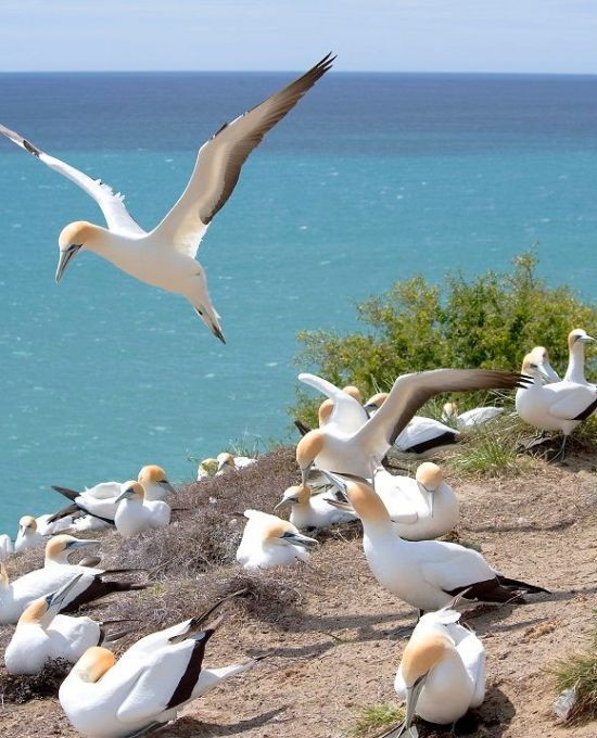 Gannet Colony Tour at Cape Kidnappers